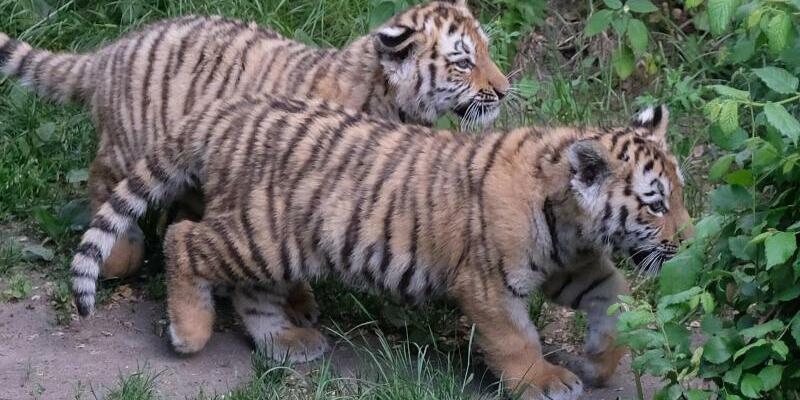 Tiger im Leipziger Zoo getauft - Foto: Sebastian Willnow
