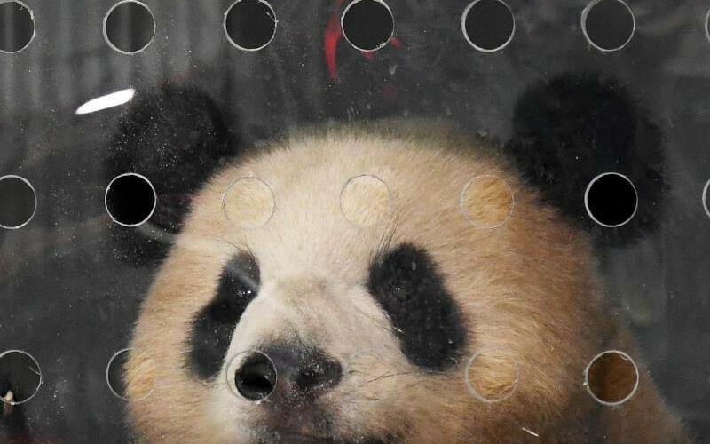 Pandas für den Berliner Zoo - Foto: Ralf Hirschberger