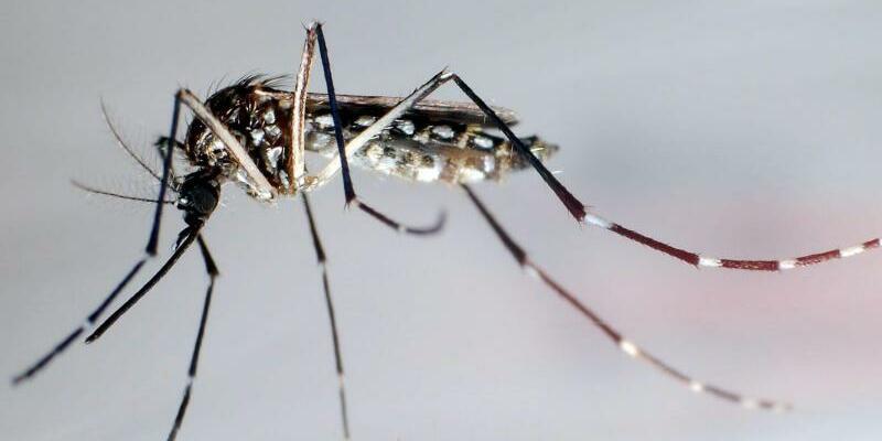 Moskito Aedes aegypti - Foto: EPA/GUSTAVO AMADOR/Archiv