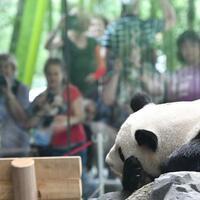 Alltag kehrt ein - Foto: Panda-Männchen Jiao Qing entspannt in seinem Innengehege. Foto:Paul Zinken