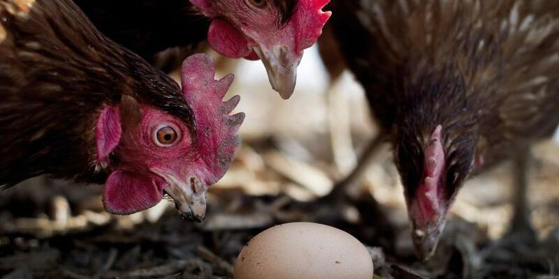 Hühner und Ei - Foto: Victoria Bonn-Meuser/Illustration