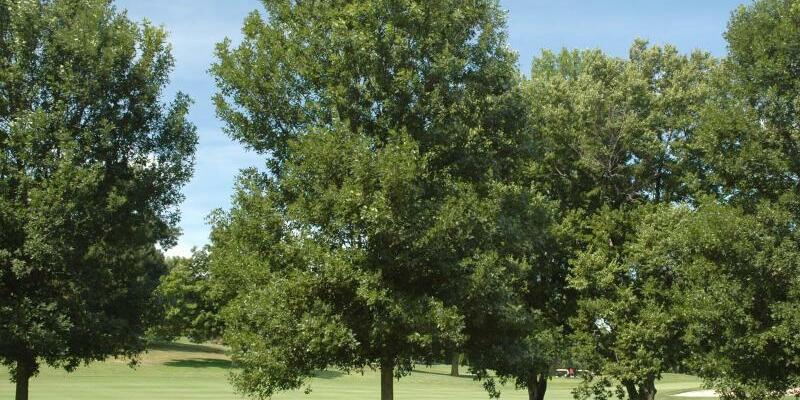 Pennsylvanische Esche - Foto: Morton Arboretum/IUCN