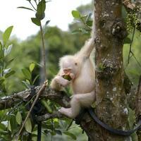 Albino-Orang-Utan - Foto: BOS Stiftung