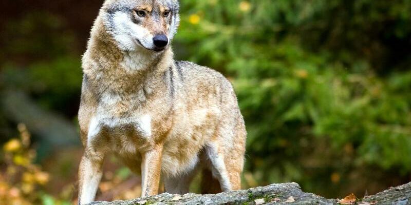 Wolf - Foto: Patrick Pleul