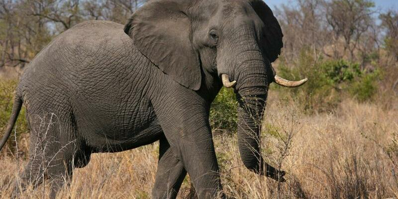 Afrikanischer Elefant - Foto: epa Jon Hrusa/EPA/dpa