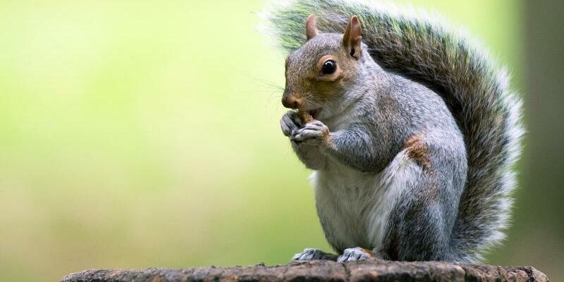 Grauhörnchen - Foto: Monika Skolimowska