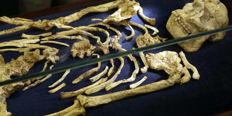Skelett eines Australopithecus enthüllt - Foto: Themba Hadebe