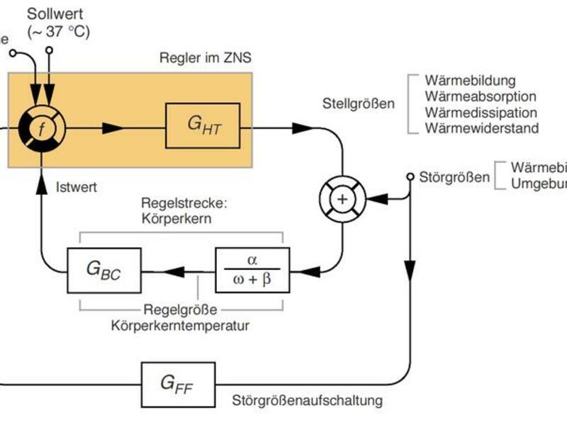 Körpertemperatur: Thermoregulation essentiell für den gesamten ...
