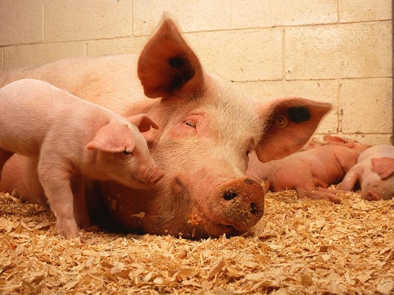 Schweine in Mastbetrieb - Foto: über dts Nachrichtenagentur