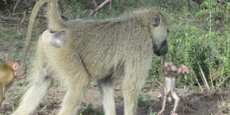 Pavian-Männchen - Foto: Raphael Mututua/Duke University
