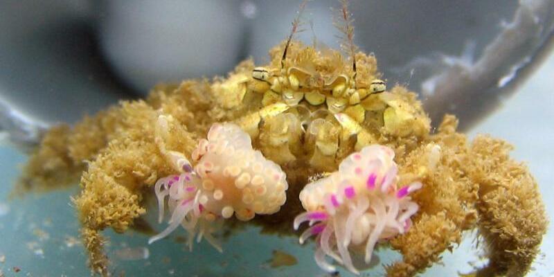 Krabbe mit Anemonen - Foto: Yisrael Schnytzer