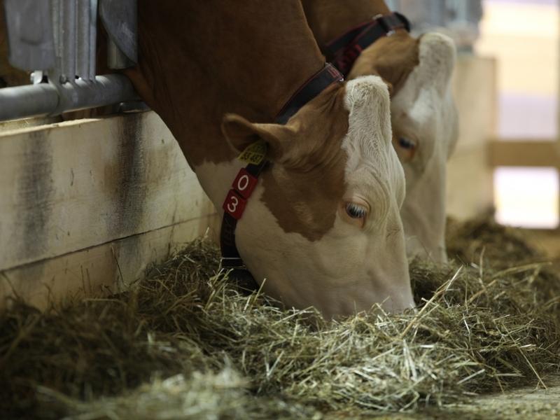 Kühe - Foto: über dts Nachrichtenagentur