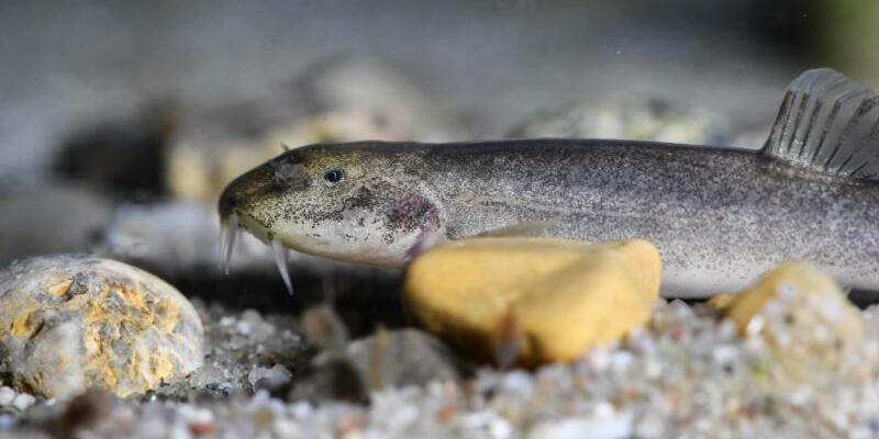 Höhlenfisch entdeckt - Foto: Felix Kästle