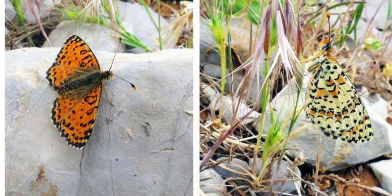 Neuer Schmetterling - Foto: Vladimir Lukhtanov/Comparative Cytogenetics