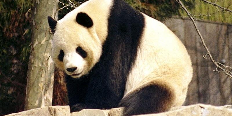 Panda - Foto: über dts Nachrichtenagentur