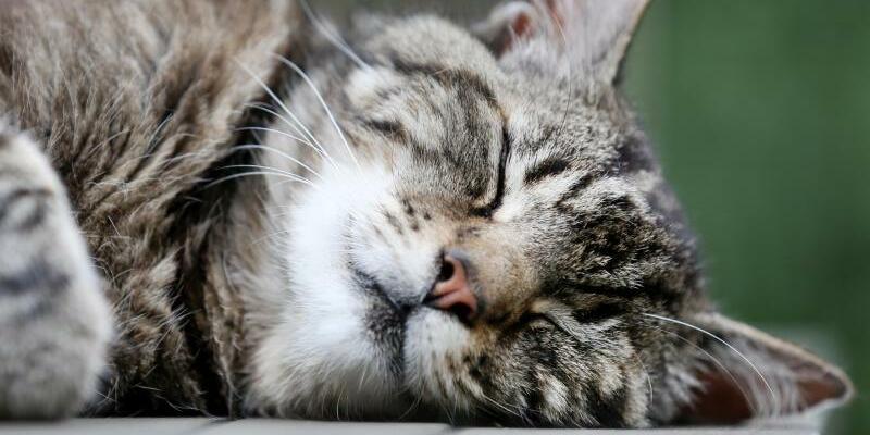 Katze - Foto: InDeutschland gibt es Umfragen zufolge mehr als 13 Millionen Hauskatzen. Foto:Martin Gerten