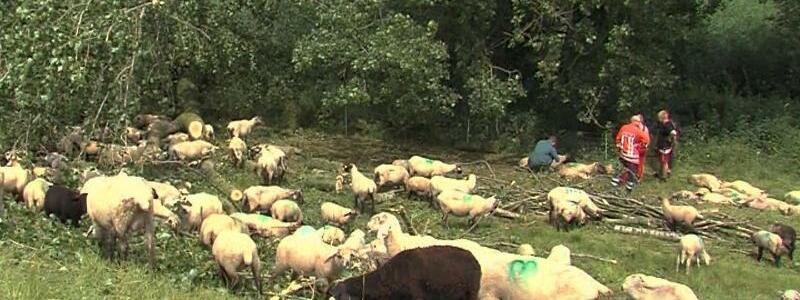 Schafe erschlagen - Foto: Eine Schafherde mit 20 bis 30 Tieren wurde unter umgestürzten Bäumen begraben, zahlreiche Tiere verendeten. Foto:TNN