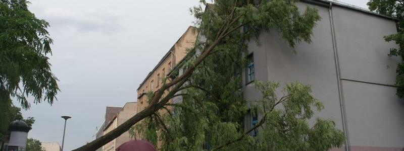 Umgeknickter Baum in Magdeburg - Foto: Klaus-Dietmar Gabbert
