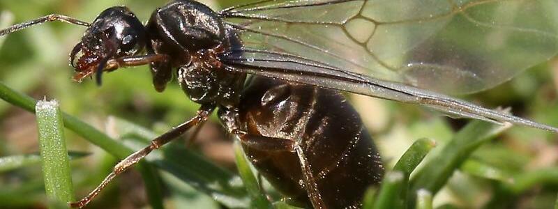 Plagegeist - Foto: Scharen fliegender Ameisen belästigten die Spieler in Wimbledon. Foto:Philip Toscano