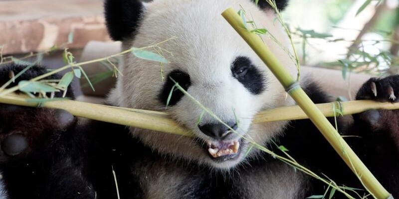 Neue Anlage für Pandabären eröffnet - Foto: Axel Schmidt