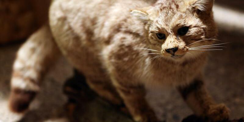 Ausgestopfte Wildkatze - Foto: Oliver Berg/Archiv