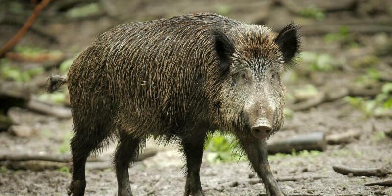 Wildschwein - Foto: Fredrik von Erichsen/Symbol