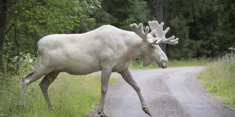 Weißer Elch in Schweden - Foto: Tommy Pedersen
