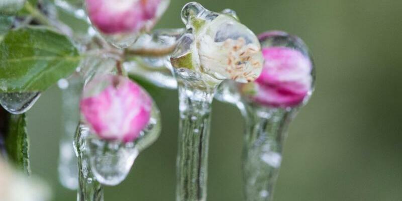 Vereiste Apfelblüten - Foto: Patrick Seeger/Archiv