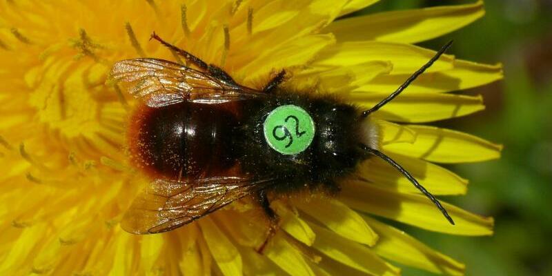 Biene mit Rückennummer - Foto: Andreas Fleischmann, Botanische Staatssammlung München/dpa
