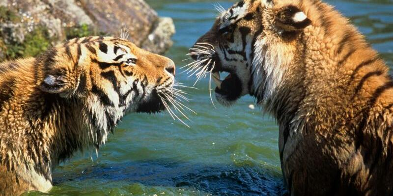 Sibirische Tiger - Foto: David Lawson/WWF-UK