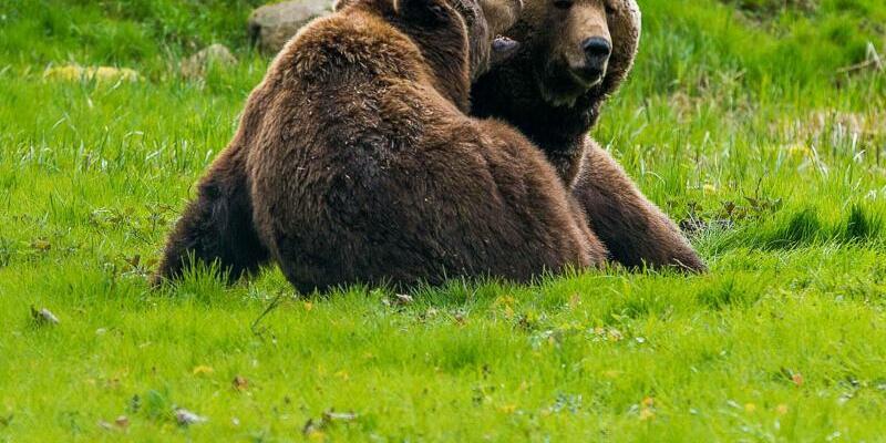 Braunbären - Foto: Jens Büttner