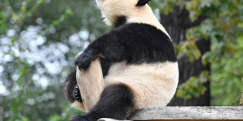 Meng Meng - Foto: Panda-Dame Meng Meng fühlt sich in ihrem Berliner Gehege offenbar nicht so recht zuhause. Foto:Paul Zinken