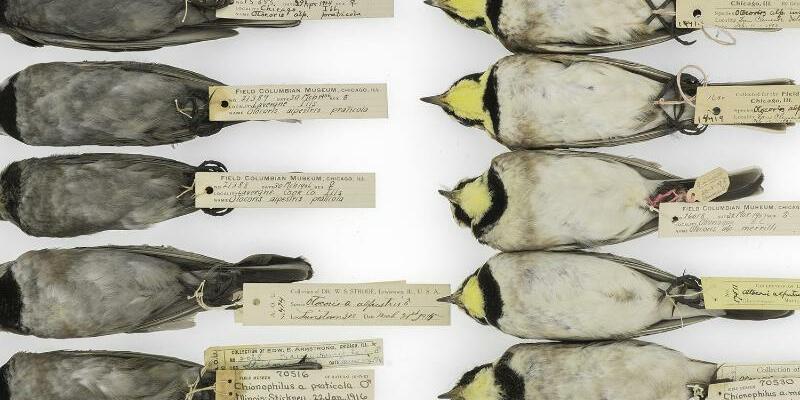 Verrußte Vögel - Foto: Carl Fuldner und Shane DuBay/ The University of Chicago a