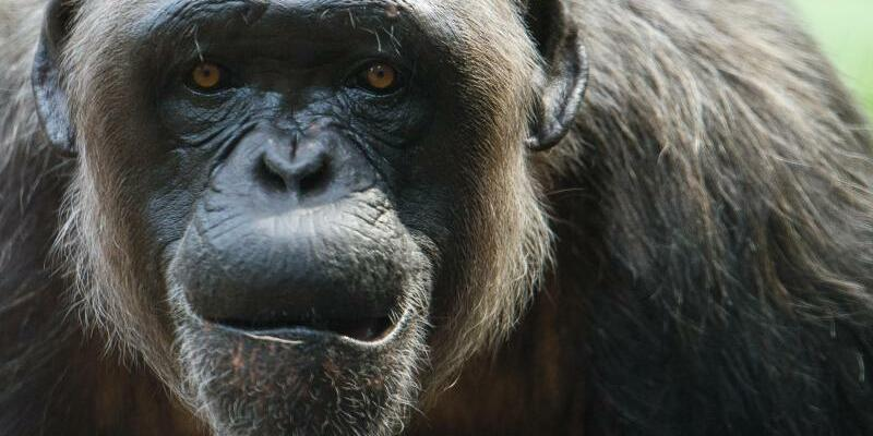 Schimpanse - Foto: Florian Eckl/Illustration