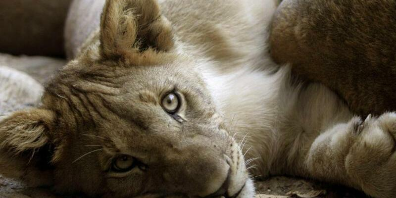 Löwenjunges - Foto: Georgios Kefalas/Illustration / Archiv