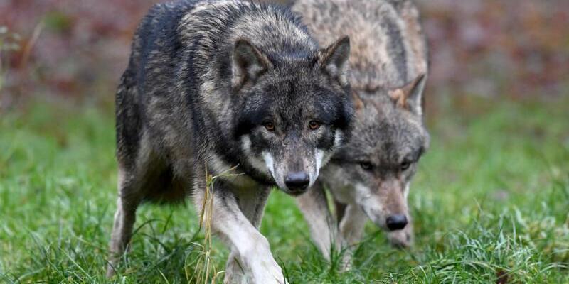 Wölfe - Foto: Carsten Rehder
