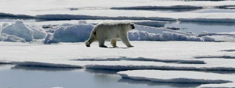 Eisbär - Foto: David Goldman
