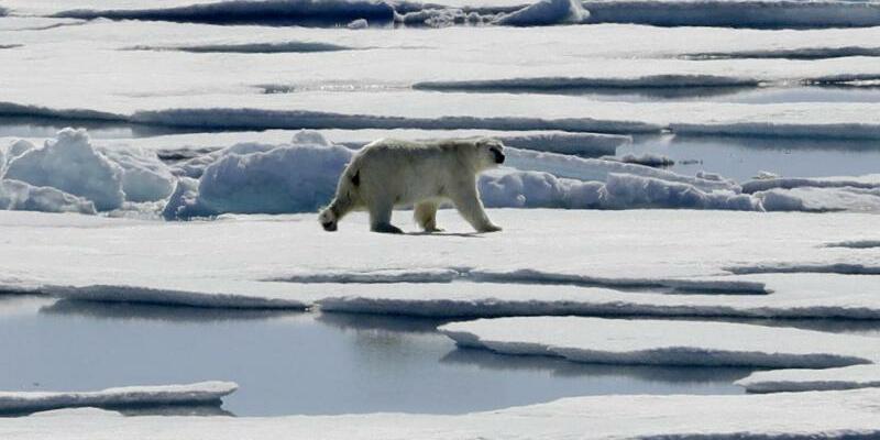 Eisbären auf der Suche nach Futter - Foto: David Goldman/AP