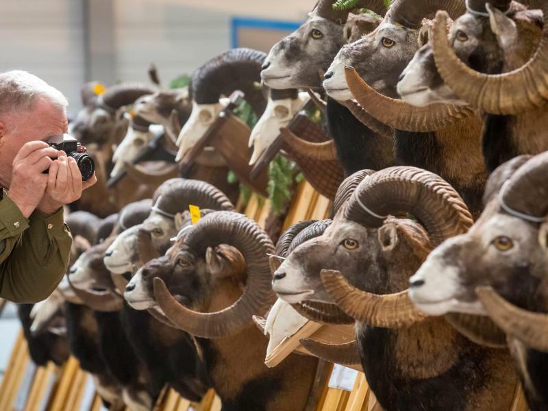 Trophäenschau - Foto: Männer, die auf Mufflons starren: Ein Besucher fotografiert eine Trophäenschau bei der Messe «Reiten-Jagen-Fischen». Foto:arifoto UG