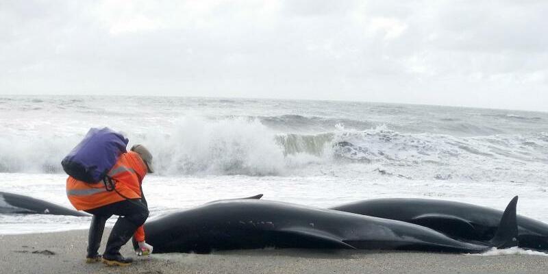 Gestrandete Wale - Foto: Jose Watson/Department of Conservation