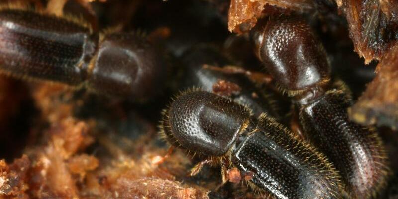 Ambrosiakäfer - Foto: Gernot Kunz