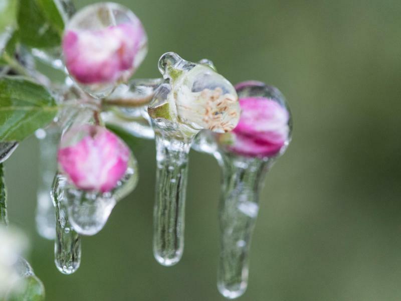 Eispanzer gegen Frostschäden - Foto: Patrick Seeger