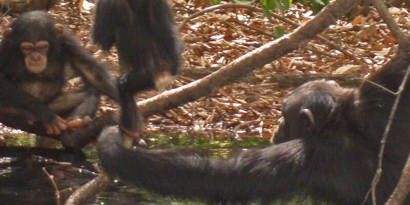 Savannen-Schimpansen - Foto: Erin Wessling/Max Planck Institute for Evolutionary Anthropology