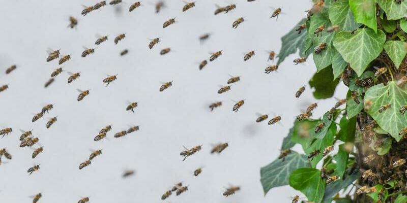 Ein Bienenvolk zieht um - Foto: Patrick Pleul