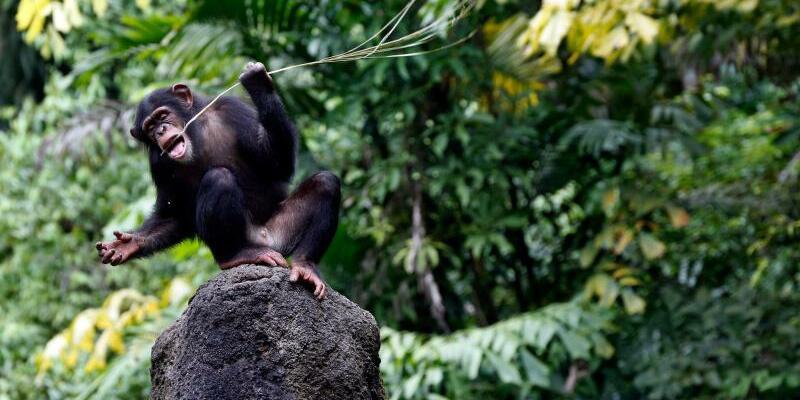 Schimpanse - Foto: Stephen Morrison/EPA