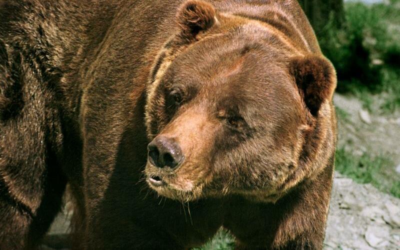 Grizzlybär - Foto: Wolfgang Thieme