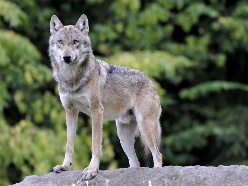 Wolf - Foto: Ralph Frank/WWF/Archiv