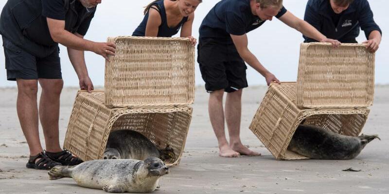 Auswilderung Seehunde - Foto: Ingo Wagner