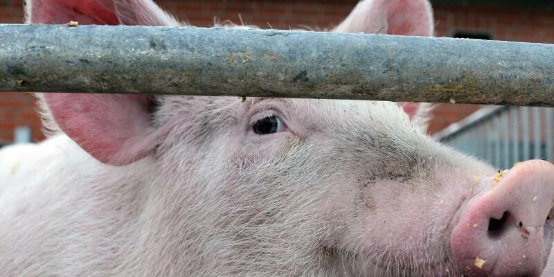 Vormarsch der Afrikanischen Schweinepest - Foto: Daniel Bockwoldt