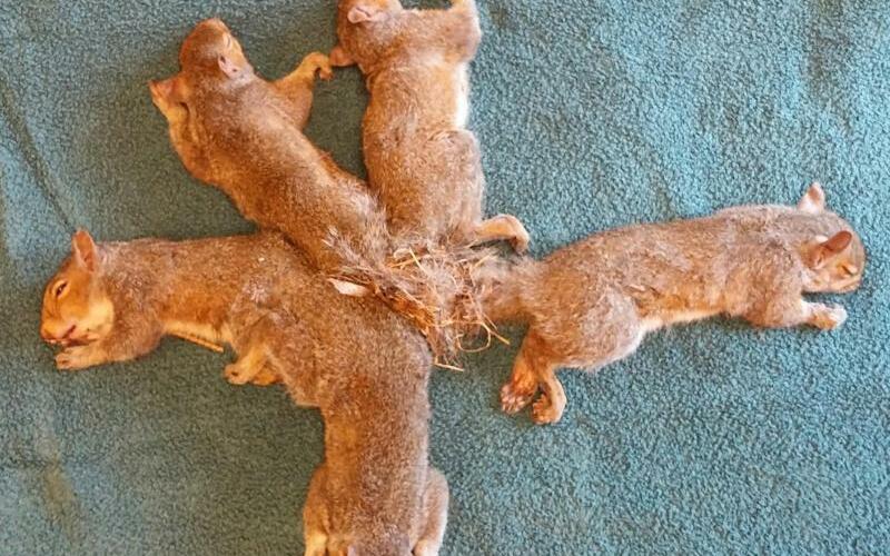 Eichhörnchenknoten - Foto: Wisconsin Humane Society